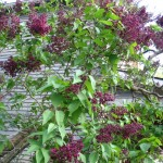 old lilac