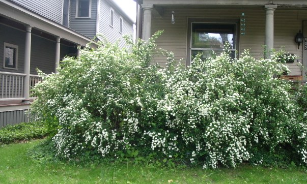 Dependable old fashioned spirea our twenty minute kitchen although there are newer hybrids of spirea the old fashioned bridal wreath spirea grows in our front yard and those of our neighbors mightylinksfo