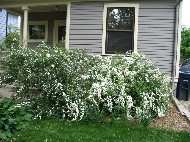Spirea plant not flowering