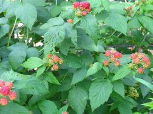 Almost Ripe Black Raspberries