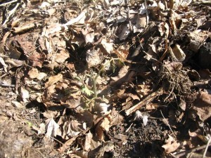 Tomato seedling with significant frost damage