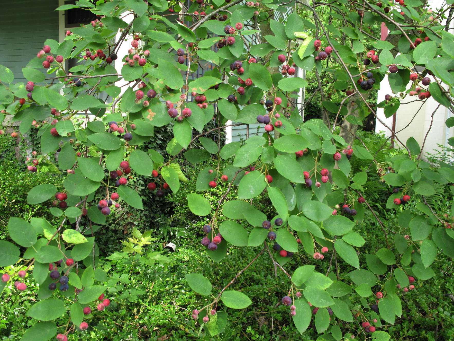 Serviceberries or juneberries or sugarplums shadberries or last summer altavistaventures Gallery