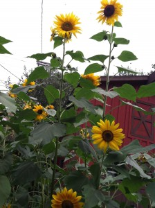Sunflowers2012