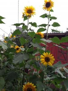 Sunflowers2012