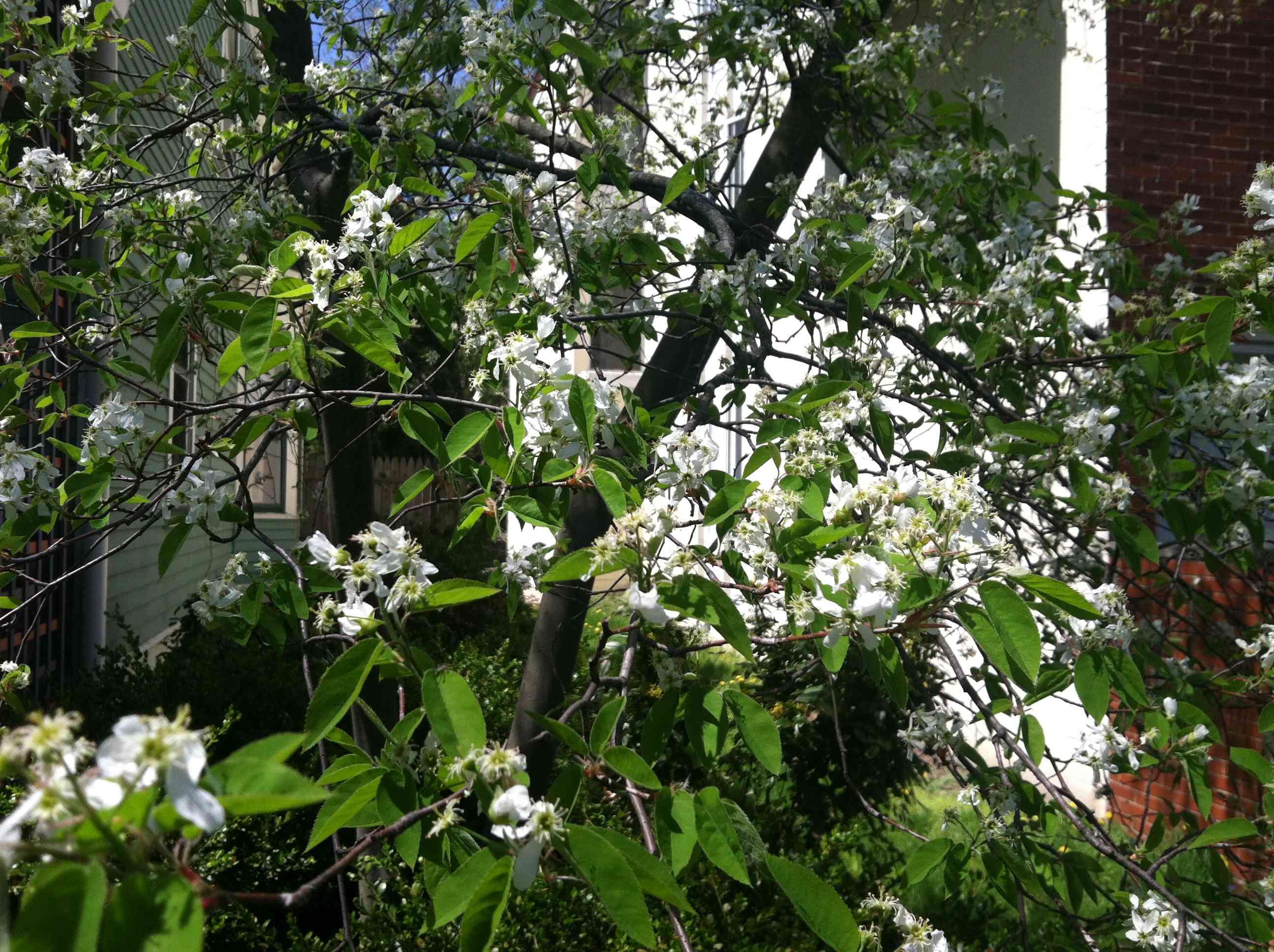 Serviceberry Tree Winter
