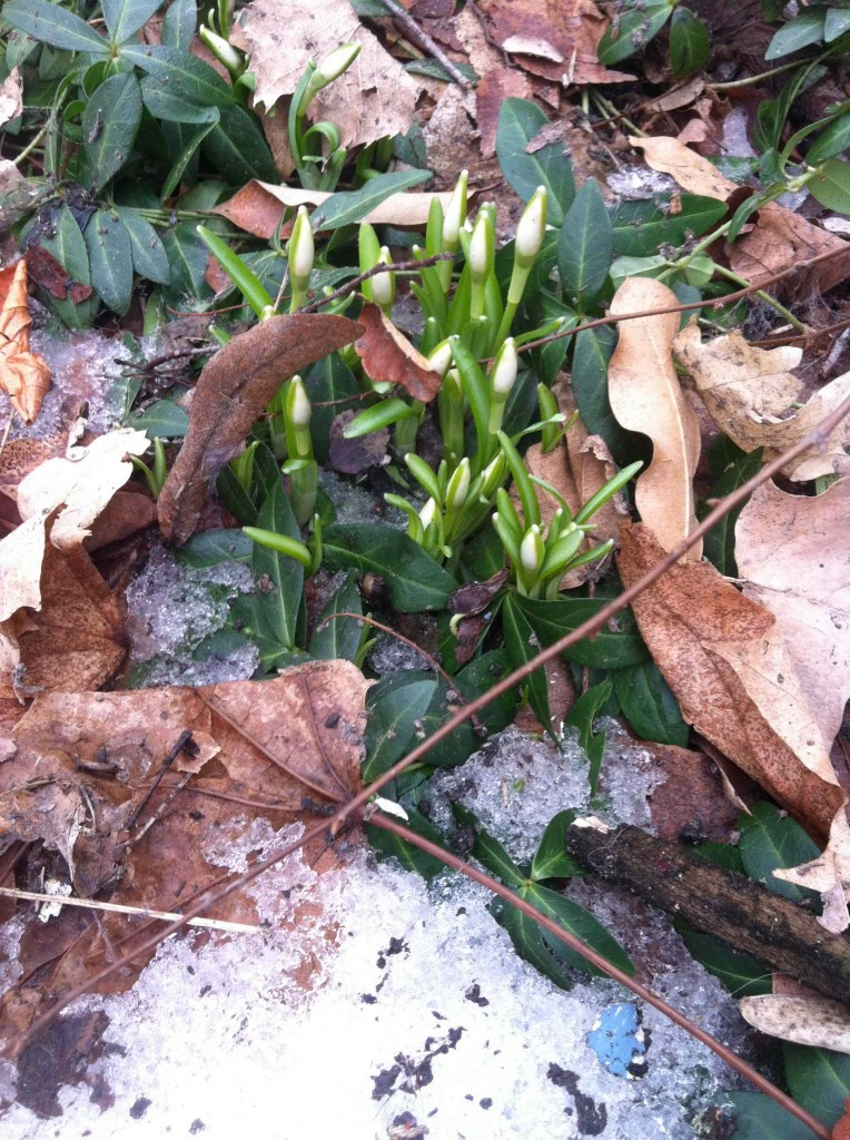 Snowdrops coming up in the yard amid snow