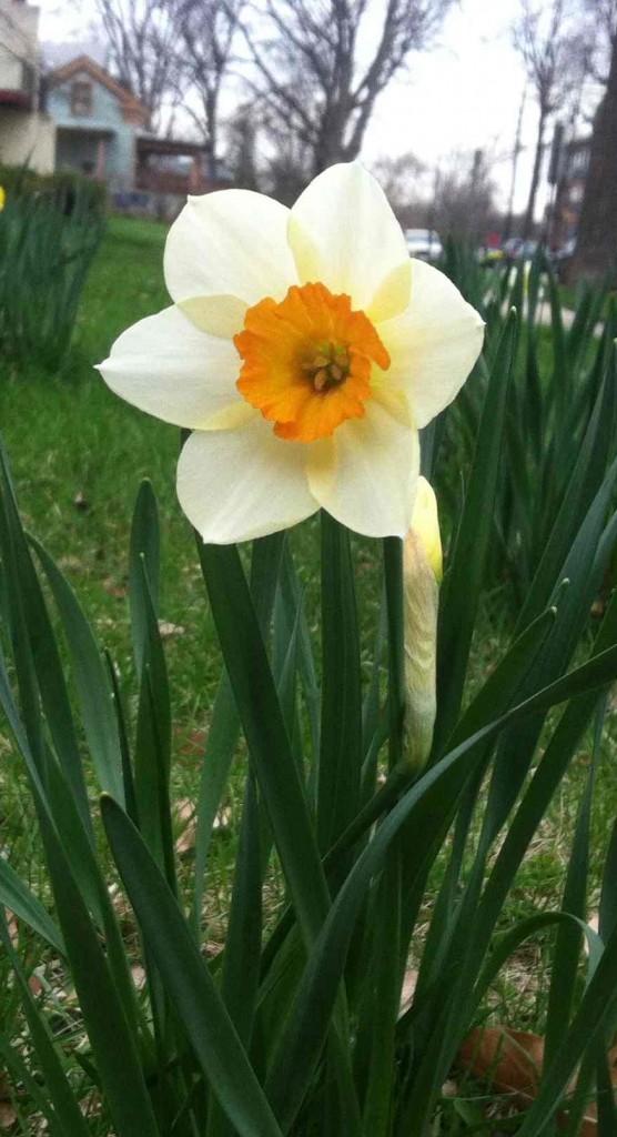 Daffodill narrow