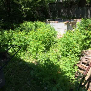Under those weeds are a compost pile, a couple stumps, some flagstone and a mulberry trunk.